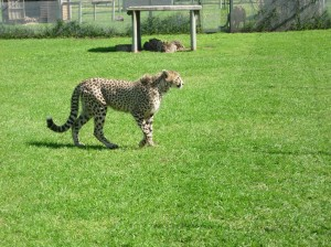 SA2682 Cheetah Best 1