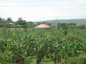 Uganda 050 Banana Plantation