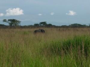 Uganda 075 Forest Elephant