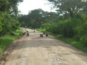 Uganda 084 Baboons in Road 4
