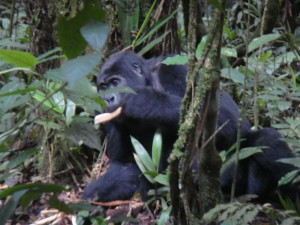 Uganda 121a Gorilla Family