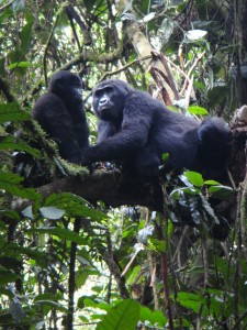 Uganda 121c Gorilla Family in Tree