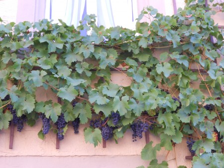 Grape vines growing on the side of a building.